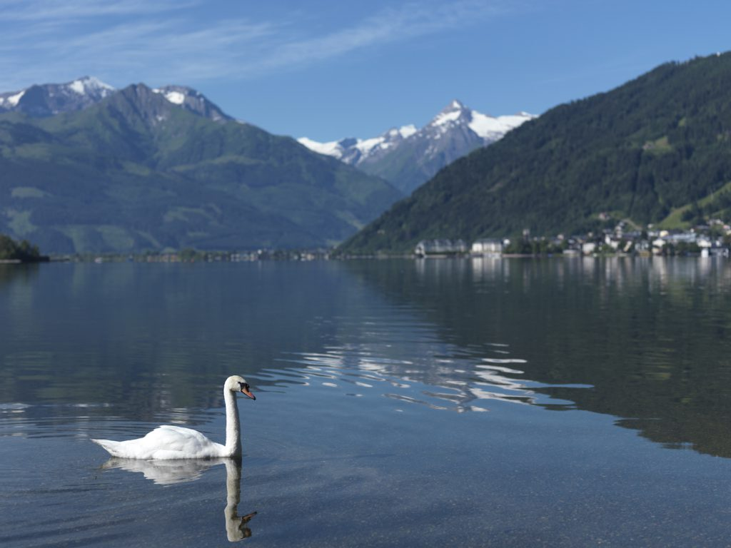swan-at-lake-zell-kitzsteinhorn-in-the-background